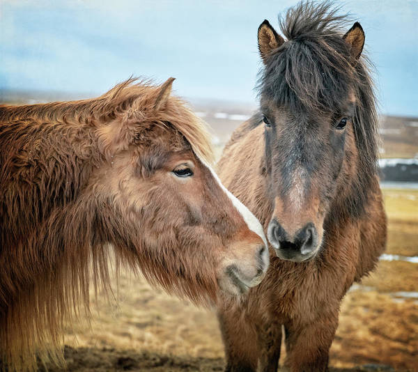 Photograph - Pair Of Icelandic Horses by Joan Carroll