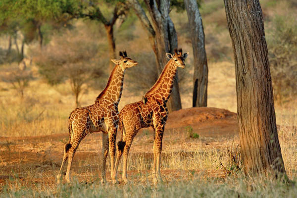 Tarangire Photograph - Pair Of Juvenile Giraffes At Sunset by Adam Jones