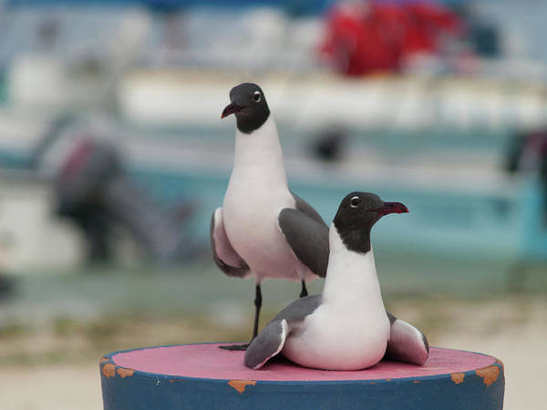 Photograph -  Pair Of Laughing Gull Larus Atricilla Bluewater by Organizacion Bluewater