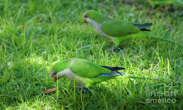 Photograph - Pair Of Monk Parakeets Eating On The Grass by Pablo Avanzini