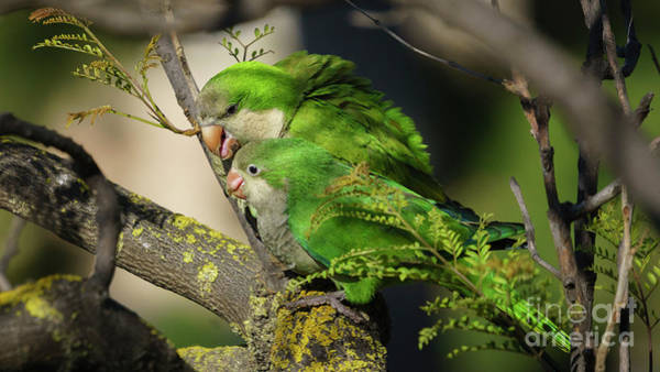 Photograph - Pair Of Monk Parakeets Perched On A Tree Branch by Pablo Avanzini