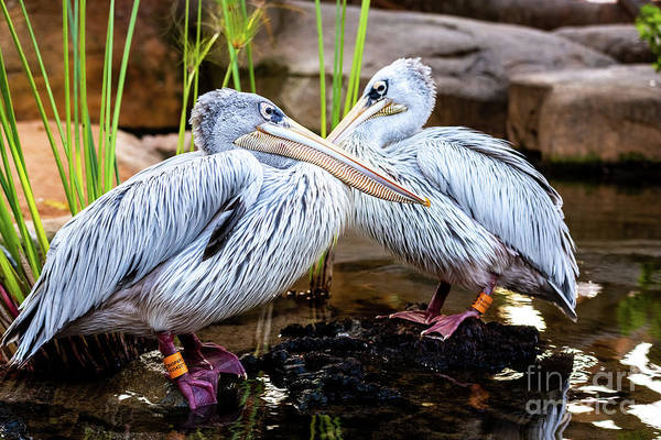 Photograph - Pair Of Pink Pelicans In A Pond. Pelecanus Rufescens. by Joaquin Corbalan