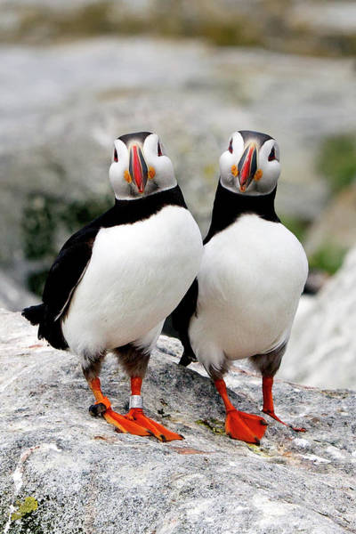 Side-by-side Photograph - Pair Of Puffins by Betty Wiley