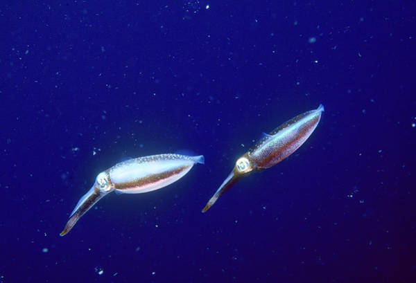 Wall Art - Photograph - Pair Of Reef Squid, Papua New Guinea by Stuart Westmorland