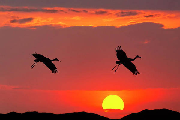 Wall Art - Photograph - Pair Of Sandhill Cranes Coming by Adam Jones