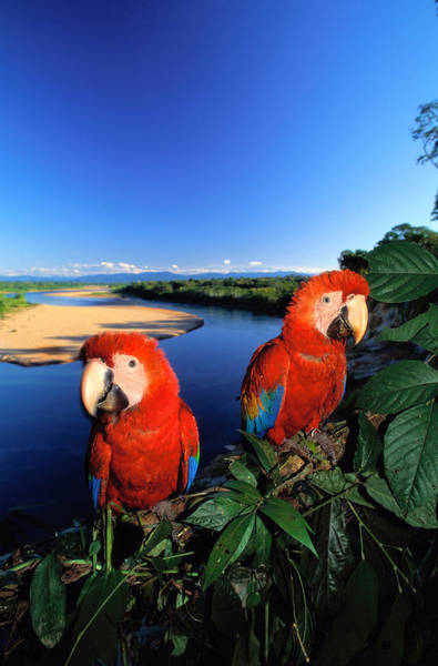 Macaw Photograph - Pair Of Scarlet Macaws Ara Macao Near by Art Wolfe
