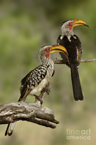 Wall Art - Photograph - Pair Of Southern Yellowbilled Hornbills by Johan Swanepoel
