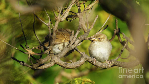 Photograph - Pair Of Spanish Sparrows Percehd On A Tree by Pablo Avanzini