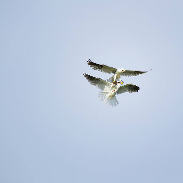 Flying Kite Photograph - Pair Of White-tailed Kites In Flight by Susangaryphotography