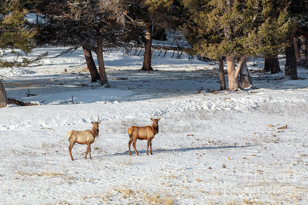Photograph - Pair Of Winter Morning Elk Herd by Steve Krull