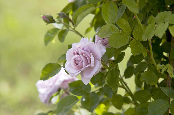 Photograph - Pale Lavender Rose Aschermittwoch 1 by Jenny Rainbow