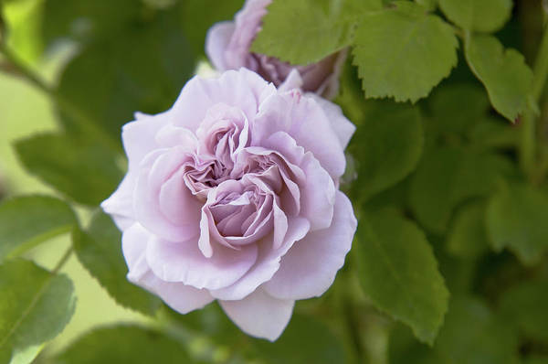Photograph - Pale Lavender Rose Aschermittwoch by Jenny Rainbow