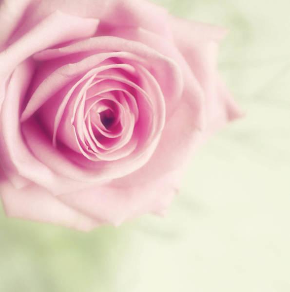 Ayrshire Photograph - Pale Pink Rose by Samantha Nicol Art Photography