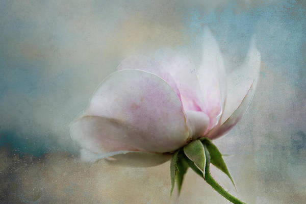 Wall Art - Digital Art - Pale Summer Rose by Terry Davis