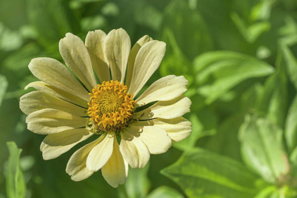 Photograph - Pale Yellow Zinnia Elegans by Jenny Rainbow