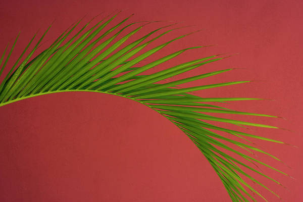 Photograph - Palm Frond Against A Red Background by Mint Images - Art Wolfe