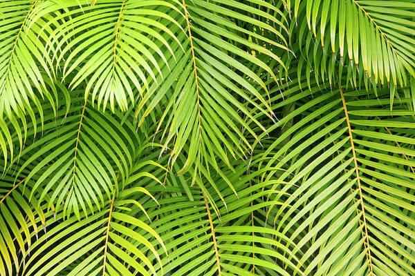 Maui Photograph - Palm Leaves, Maui, Hawaii, Usa by Danita Delimont