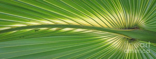 Photograph - Palm by Patrick M Lynch