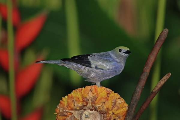 Wall Art - Photograph - Palm Tanager by Marlin and Laura Hum