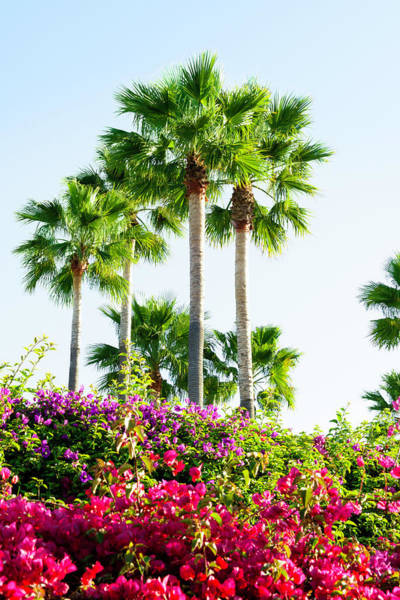 Bougainvillea Photograph - Palm Trees And Blooming Bougainvillea by Dszc