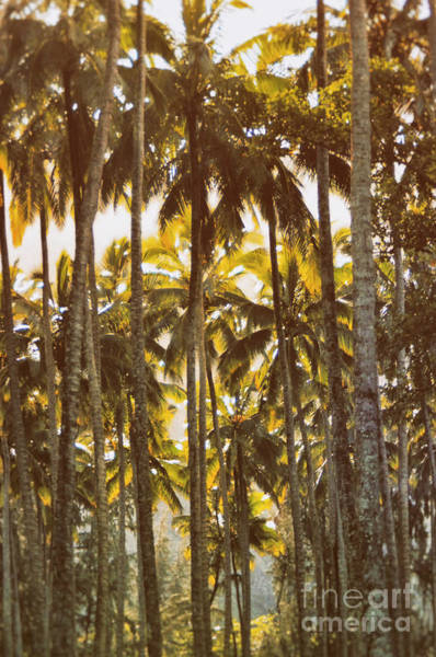 Photograph - Palm Trees In Kahana Valley  by Thomas R Fletcher