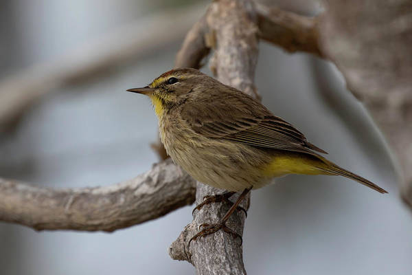Photograph - Palm Warbler by Thomas Kallmeyer