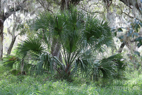 Wall Art - Photograph - Palmetto In Hardwood Hammock by Carol Groenen