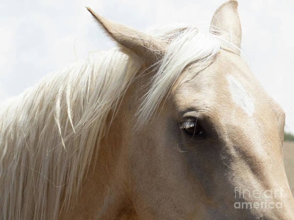 Photograph - Palomino Horse 4 by Christy Garavetto