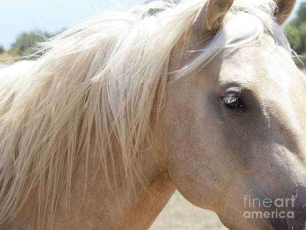 Photograph - Palomino Horse 7 by Christy Garavetto