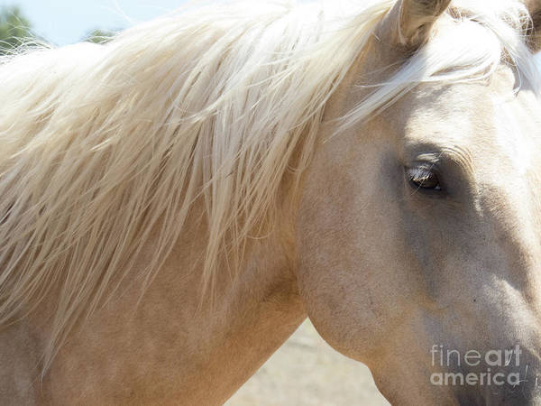 Photograph - Palomino Horse 8 by Christy Garavetto