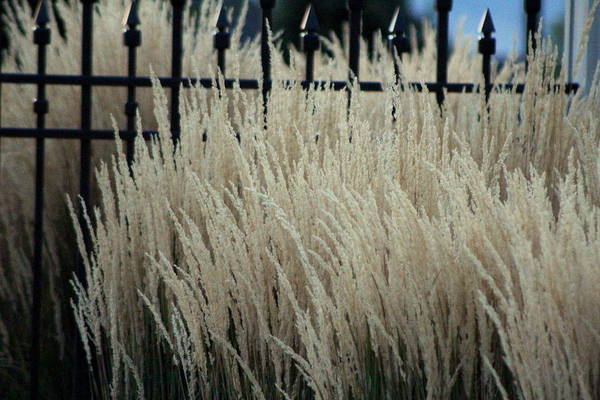 Photograph - Pampas Grass And Iron by Colleen Cornelius