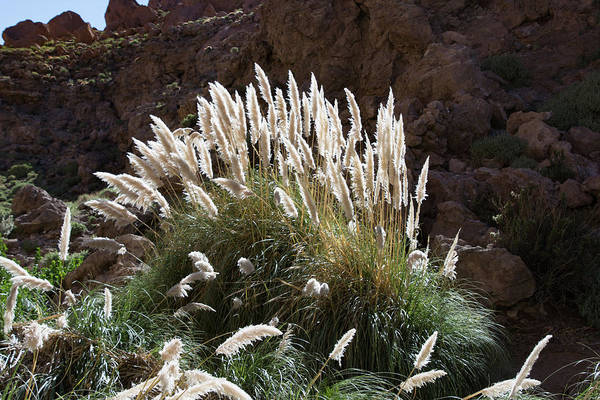 Photograph - Pampas Grass by Mark Hunter