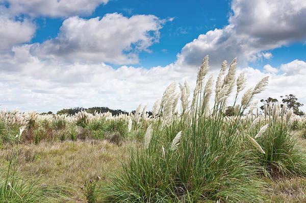 Ornamental Grass Photograph - Pampas Grass by Normazaro