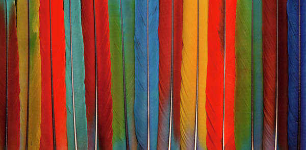 Macaw Photograph - Pan Of 13 Macaw Tail Feathers by Darrell Gulin