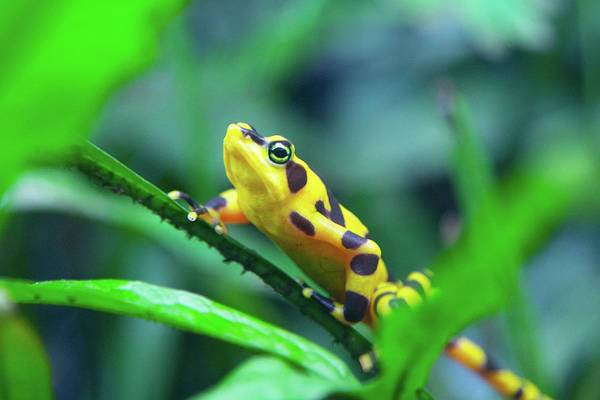 Photograph - Panamanian Golden Frog by SR Green