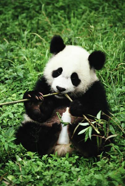Wall Art - Photograph - Panda Ailuropoda Melanoleuca Eating by Daniele Pellegrini