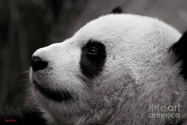 Photograph - Panda Bear Looking Up by Blake Richards