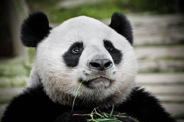 Chiang Mai Province Photograph - Panda Eating Bamboo At Chiang Mai Zoo by Ed Norton