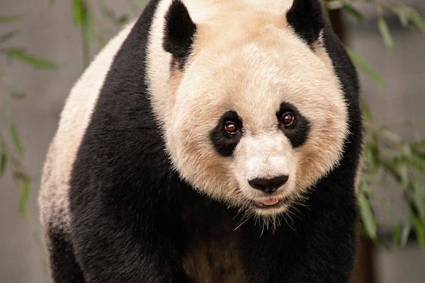 Photograph - Panda Look by Don Johnson