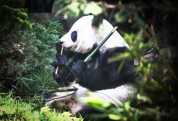 Photograph - Panda Lunch by David Resnikoff