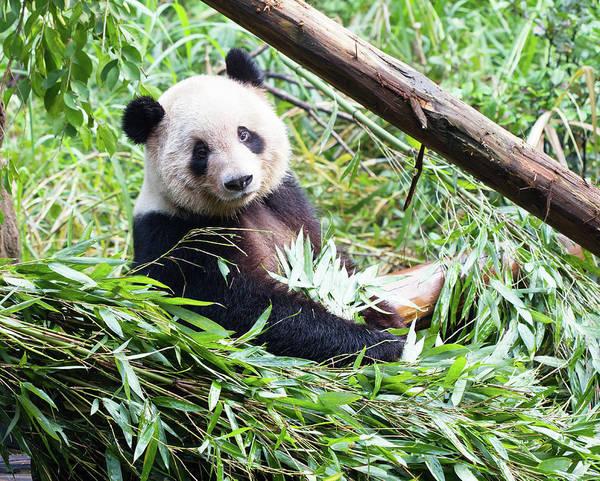 Bamboo Shoots Photograph - Panda by Pengpeng