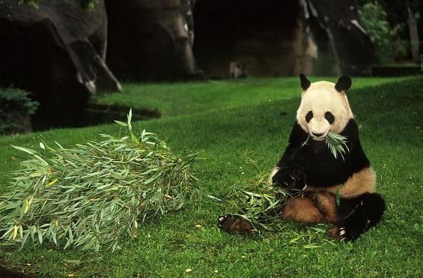 Photograph - Panda Yen Yen Celebrates His 25th by Xavier Rossi