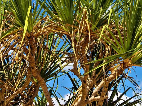 Photograph - Pandanus Palm And Sky by Joan Stratton