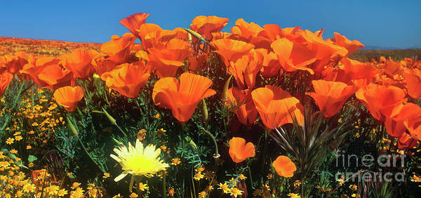 Photograph - Panorama California Poppies Desert Dandelions California by Dave Welling