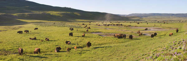 Mammal Photograph - Panorama Of Bison In Hayden Valley by Robert C Nunnington