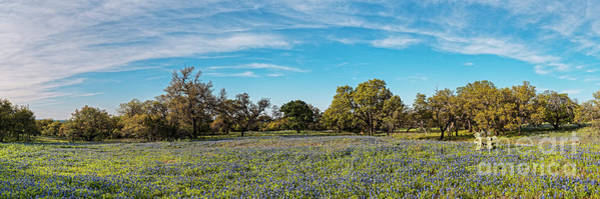 Photograph - Panorama Of Field Of Bluebonnets And Oaks In Willow City Loop - Fredericksburg Texas Hill Country by Silvio Ligutti