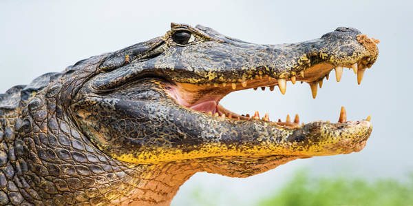 Ugliness Photograph - Pantanal Cayman Head, Porto Jofre, Mato by Panoramic Images