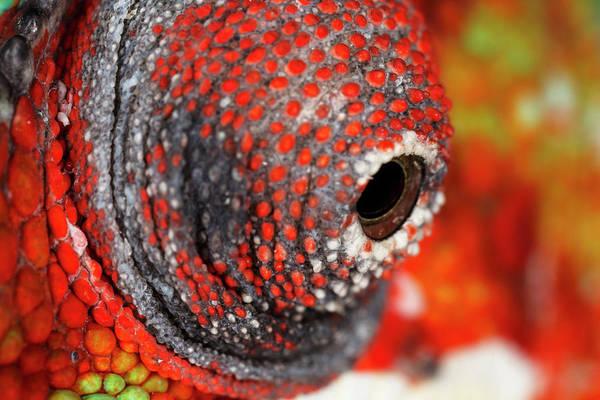 Wall Art - Photograph - Panther Chameleon Eyeball Close-up by Adam Jones