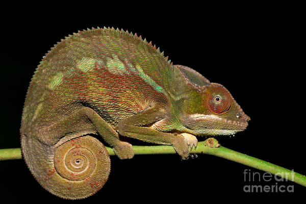 Wall Art - Photograph - Panther Chameleon Furcifer Pardalis In by Artush