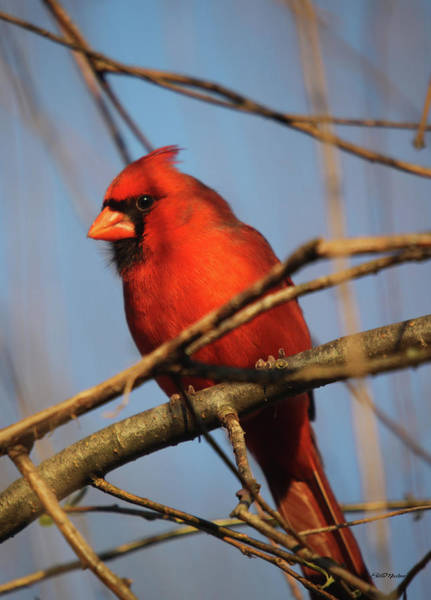 Photograph - Papa Cardinal In The Willow by Ericamaxine Price
